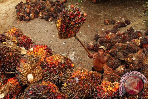 Minyak Inti Kelapa Sawit perkebunan di nusantara bungkil inti sawit dimanfaatkan