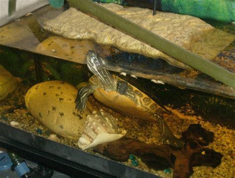lada uvb per tartarughe d acqua allestire in modo corretto l acquaterrario per le tartarughe