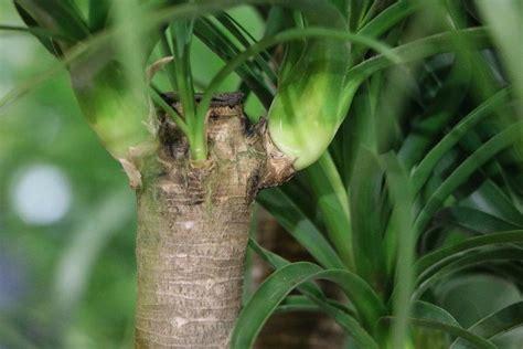 Yucca Palme Krankheiten 4812 by Ist Die Yucca Palme Winterhart Infos Zur Pflege Und