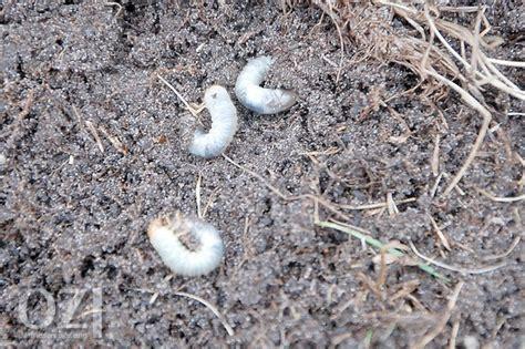 larven im garten gefr 228 223 ige larven zerst 246 ren graswurzeln ostfriesen zeitung