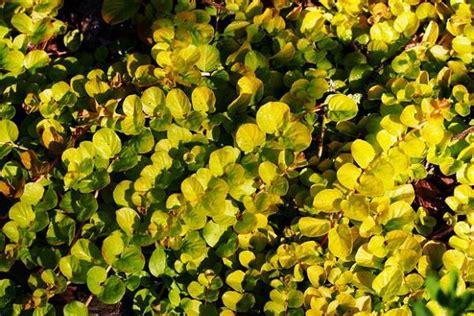 fiori tappezzanti per aiuole piante tappezzanti per il giardino