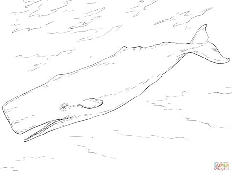 coloring page sperm whale whale sperm coloring page sketch coloring page