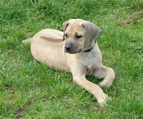 rhodesian ridgeback colors light wheaten rhodesian ridgeback puppy