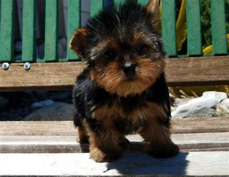 teacup yorkie miami beautiful teacup yorkie puppies available text us 757 x 371 x 2297 theflyer
