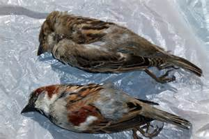 Male And Female Sparrows Found Dead In Southern Tasmania Dead Sparrow