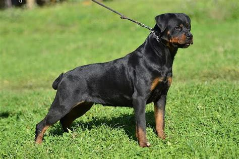 rottweiler mating time past rottweilers puppies king rottweilers