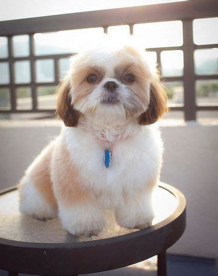 shih poo hair cuts 3 style 3 teddy bear shih tzu haircut now this style