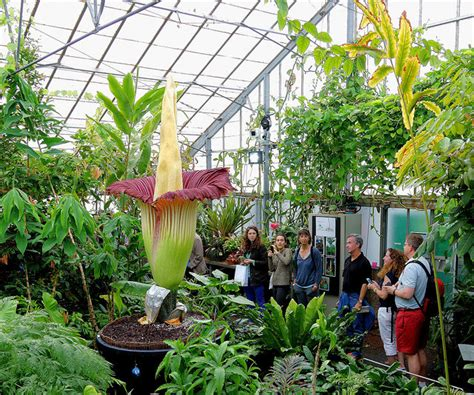 berkeley botanical garden hours undergraduate research opportunities and corpse flower about to bloom in berkeley