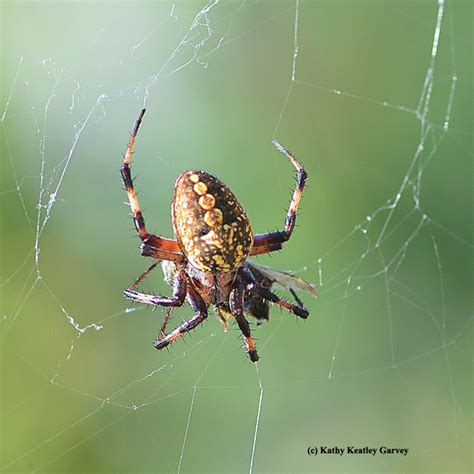 Garden Spider Lives Posts Tagged The Uc Davis Department Of
