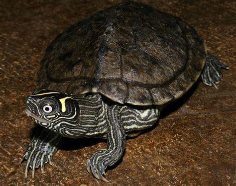 mississippi map turtle flickr photo sharing