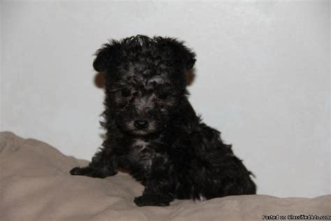 yorkie poo kansas city ckc teacup yorkie poos price 700 00 in scottsville kansas cannonads