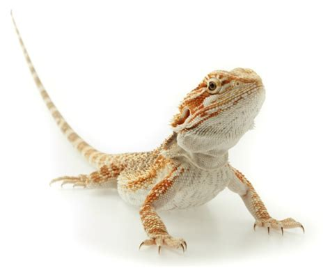 Bearded Shedding Behavior by Bearded Diet Habitat Info Pictures Facts