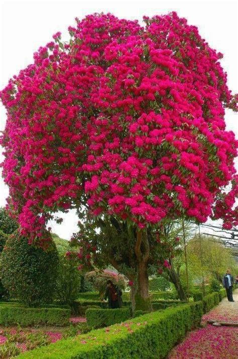 the most beautiful flowering tree i ve ever seen dreaming of a home like pinterest