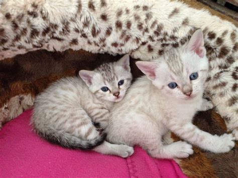 blue eyed snow bengal kitten 3 months old youtube gorgeous pedigree blue eyed snow bengal kittens