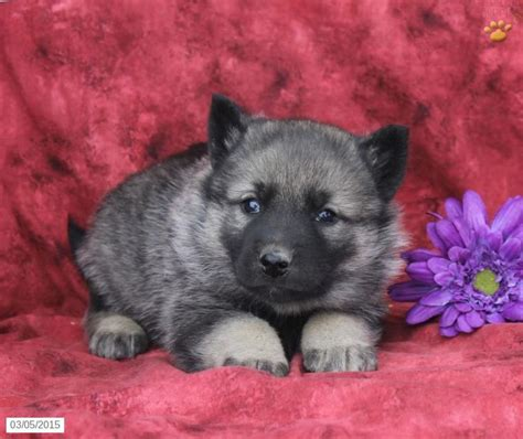 elkhound puppies for sale elkhound puppy for sale in pennsylvania puppies pennsylvania