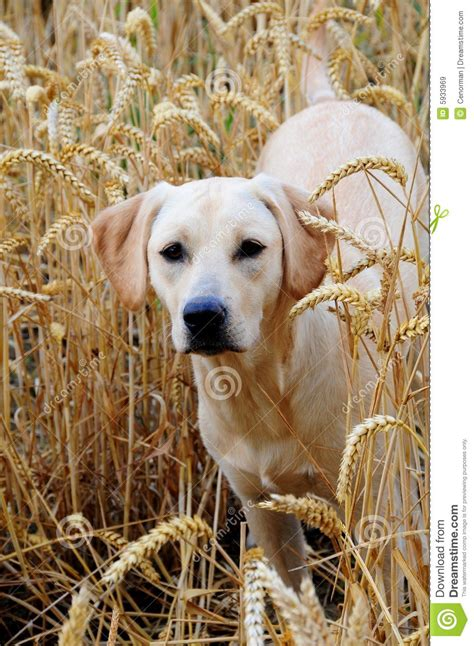 9 month puppy labrador puppy 9 months royalty free stock images image 5933969