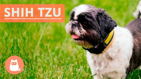 shih tzu traits all about the shih tzu traits and history funnydog tv