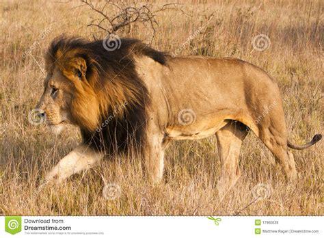 imagenes leones blancos movimiento le 243 n masculino en el movimiento im 225 genes de archivo libres