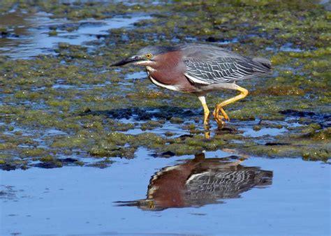 central coast birds