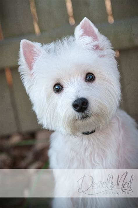 westies dogs 1000 ideas about white terrier on westies