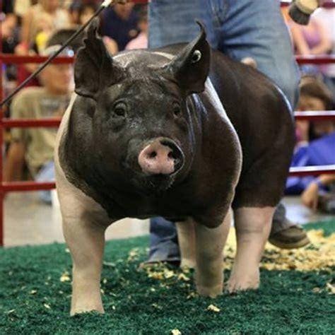 purina show show pigs education purina animal nutrition