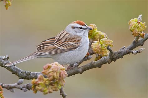 chipping sparrow audubon field guide