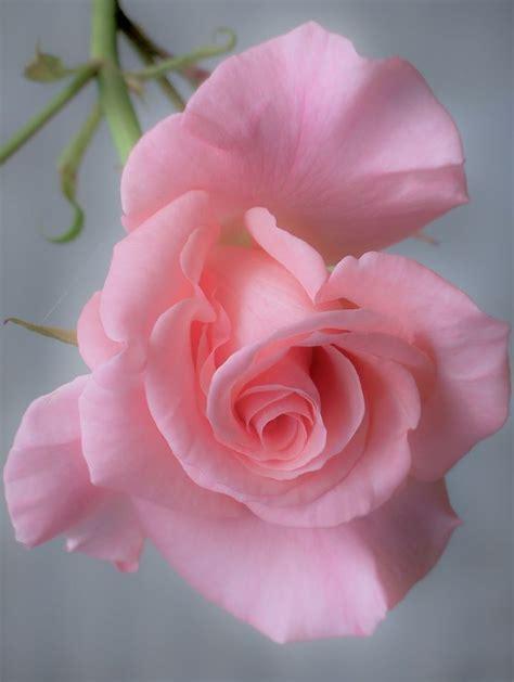 imagenes de rosas vivas las 25 mejores ideas sobre rosas rosadas en pinterest