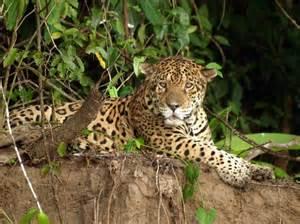 Jaguar Park How Many Seen A Jaguar In Five Days