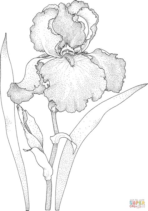 coloring pages of iris flowers iris blossom coloring page free printable coloring pages