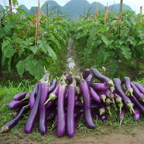 Garten Pflanzen Essbar by 15x Riesen Lila Aubergine Samen Saatgut Garten Pflanze