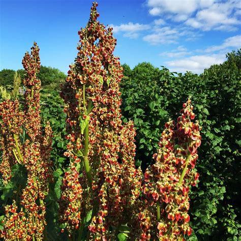 Planter De La Rhubarbe by Comment Cultiver La Rhubarbe Planter Et Entretenir Des