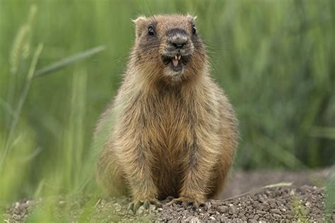 groundhog day black alpine marmot biology
