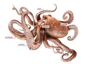 Octopus anatomy diagram animal x3cb x3eanatomy x3c b x3e on pinterest