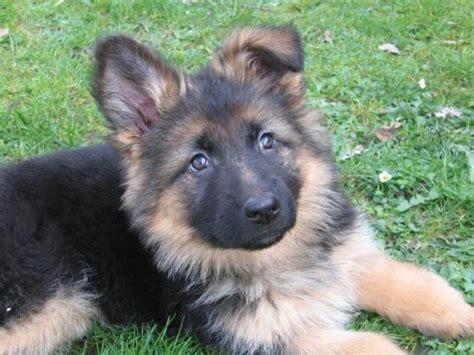 alsatian puppy german shepherd puppies for sale sanjay kumar 9039204798 1 5188 dogs for sale