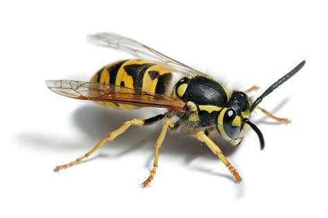 bees wasps and ants and other stinging insects classic reprint books wasps in manchester macclesfield town country