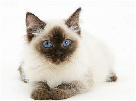 alimentazione ragdoll gatti archivi clinica veterinaria cinisello