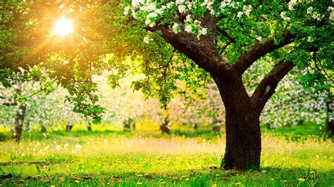 spring sun nature trees apple trees dandelions