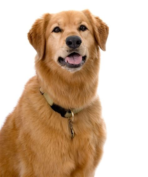 golden retriever mixed with lab golden retriever mix photos thriftyfun