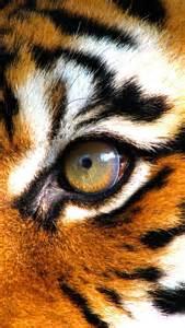 tiger eye wild things pinterest