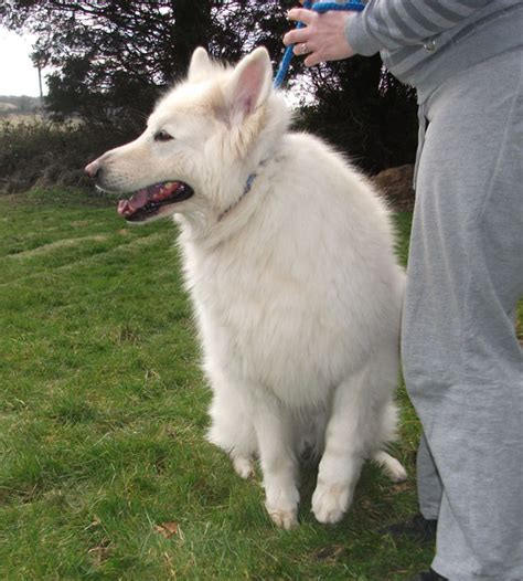 big white breeds big fluffy breeds white breeds picture