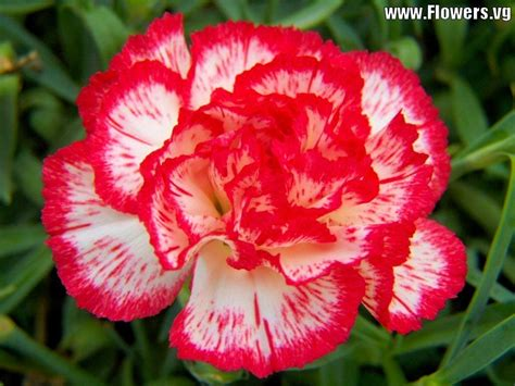 white carnations can be colored by adding food coloring