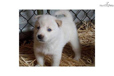 shiba inu puppies for sale oregon shiba inu puppy for sale near portland oregon 79fd0fc2 1501