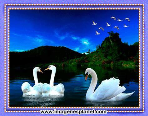 imagenes hermosas te extraño imagenes bonitas animadas de cisnes en cuadro gif
