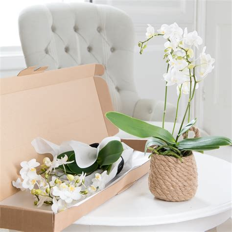 facts about orchids blossoming gifts blog new orchids delivered through the letterbox blossoming