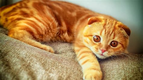 wallpaper cat orange orange scottish fold cat hd wallpaper wallpaperfx