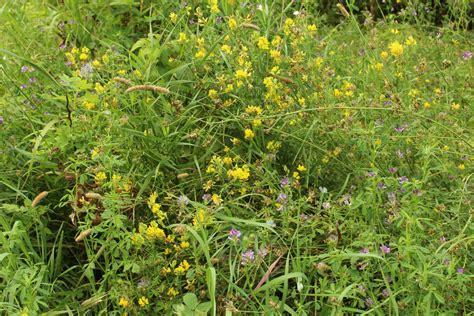fiori spontanei viola selvatici fiori gialli viola erba immagine gratis