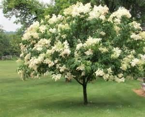 syringa reticulata ivory silk japanese lilac tree zone