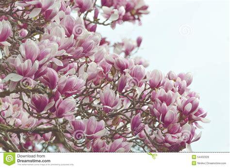 large magnolia tree stock photo image 54432329