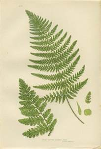 What Are Botanicals Antique Botanical Fern Print 28 Broad Prickly