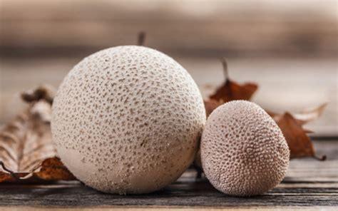 Lu Tidur Strawbery Dan Jamur jamur puffball jamur bola yang empuk dan gurih seperti tahu